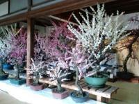 お座敷にも梅の盆栽が!
